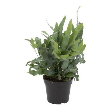 Flebodium Blue Star 40 45 Cm Air So Pure Kwiaty Doniczkowe W Atrakcyjnej Cenie W Sklepach Leroy Merlin Blue Star Flowers Plants