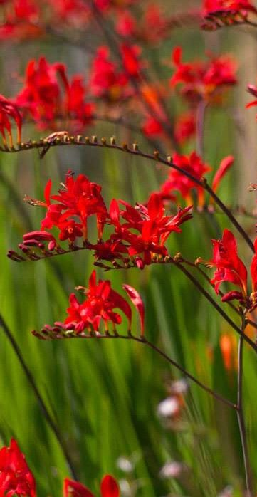 Crocosmia 'Lucifer' also known as Montbretia is a clump-forming herbaceous perennial which produces tall deep red flowers on slightly-arching spikes #uk #garden #plant
