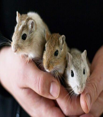 Gerbils Best Pets For Kids Small Pets Gerbil Pet Mice