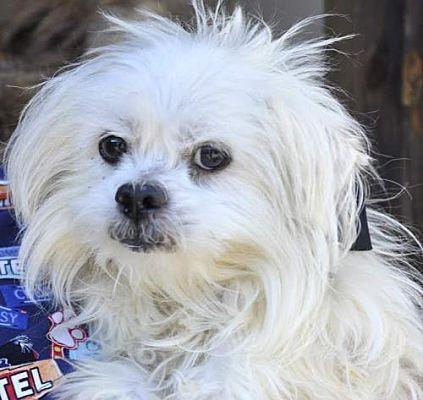 Siler City Nc Maltese Meet Scruffy A Pet For Adoption Siler City Pet Adoption Pets