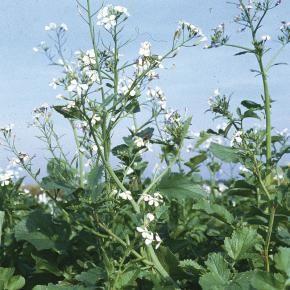 Olrettich Br Raphanus Sativus L Garten Pflanzen Pflanzen Garten