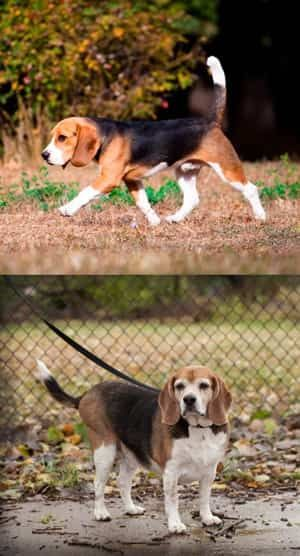 Beagle Healthy Weight Vs Overweight With Images Dog Breeds