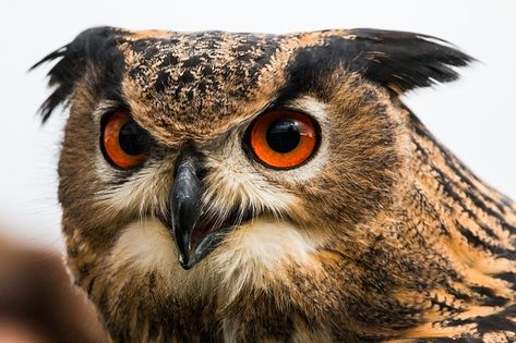 of prey bubo owl bird