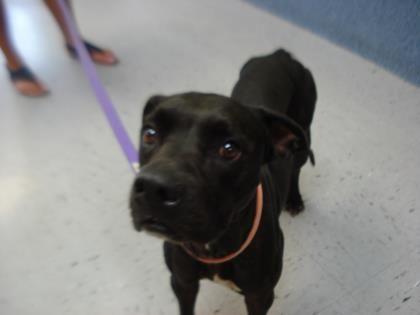 Adopt Hope On Pitbull Terrier Pet Adoption Bull Terrier Mix