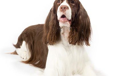 English Springer Spaniel Lying On A White Background Akc Dog Breeds Dog Breeds Akc Breeds