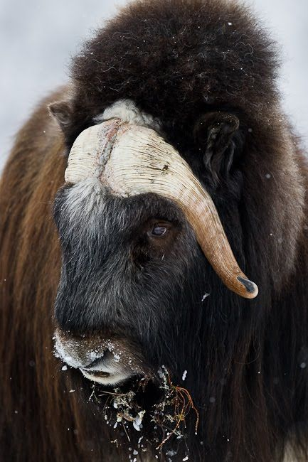 21 best MuskOx, Musk Oxen & Yaks, vibos moschatus images on Pinterest | Musk  ox, Wild animals and Animal kingdom
