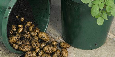 Growing potatoes in a five gallon bucket