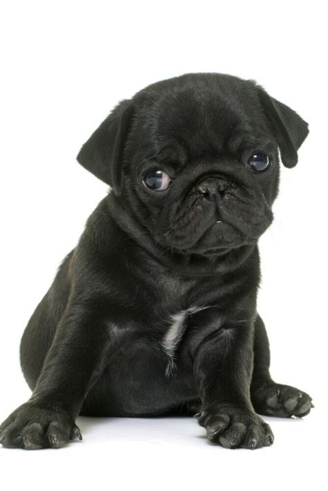Puppy Black Pug In Front Of White Background In 2020 Black Pug