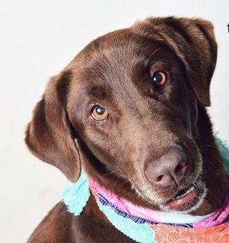 Adopt Maria 2 On Adoption Labrador Retriever Dog Pet Adoption