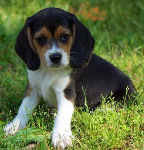 Cute Puppy Dogs Black And White Beagle Puppies Puppy Dog