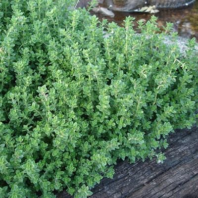 Creeping Lemon Thyme Mosquito Repellent Two Plants Non Gmo Edible Herb Mosquito Repelling Plants Mosquito Plants Thyme Plant