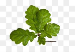 Leaves Png Leaves Transparent Clipart Free Download Swing Designer Creativity Free To Pull The Branches Swing Creative Leaves Plant Leaves Tree Leaves