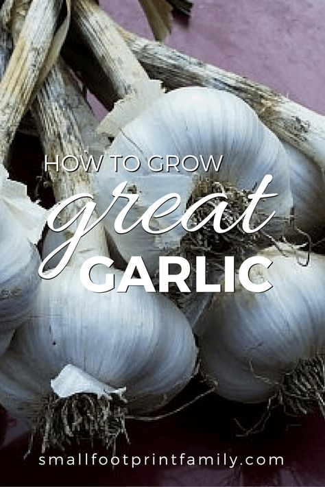 Fall is the time to plant garlic. Garlic is easy to plant and care for, and it takes up very little space in the garden. Click here to learn how to grow garlic...