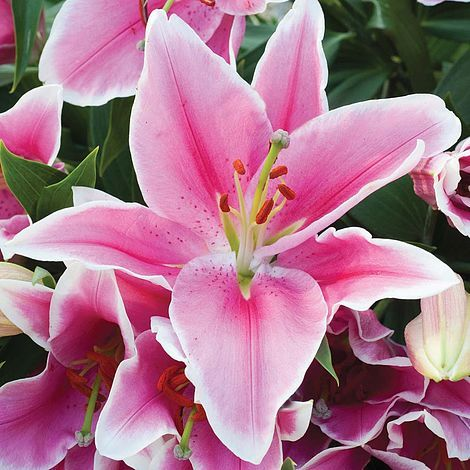 Pink Asiatic Lily Google Search Lily Flower Flower Meanings Pink Lily Flower