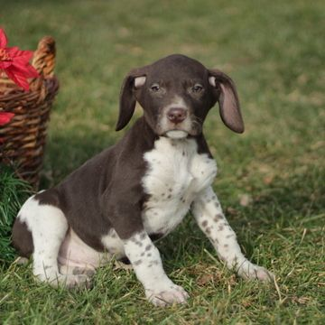German Shorthaired Pointer Puppy For Sale In Gap Pa Adn 57691 On