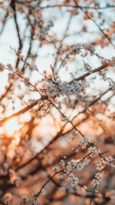The Latest Iphone11 Iphone11 Pro Iphone 11 Pro Max Mobile Phone Hd Wallpapers Free Cherry Blossom Wallpaper Iphone Cherry Blossom Wallpaper Spring Wallpaper