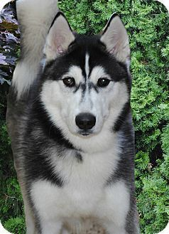 Pin By Debbie Vigil On Calling All Huskies Husky Dogs Husky Puppy