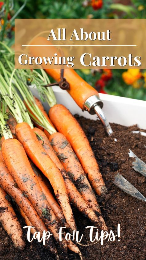 All About Growing Carrots