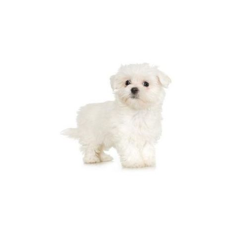 How To Clean My Puppy With White Hair Liked On Polyvore