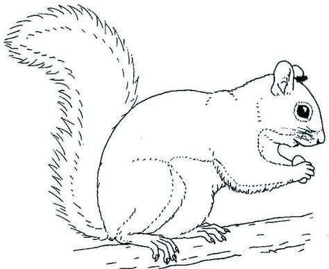 Grey Squirrel Coloring Page Animal Coloring Pages Coloring Pages