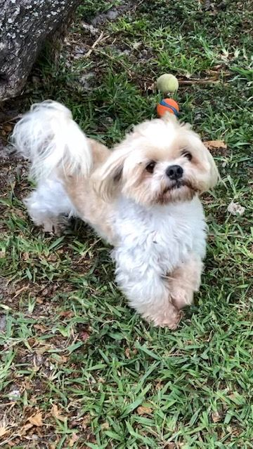 Bella Joy S Web Page On Shih Tzu Rescue Inc Adoptable Dogs In 2020 Dog Adoption Mixed Breed Dogs Dogs