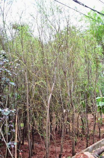 Jual Pohon Liang Liu Janda Merana Pohon Menjuntai Pohon Pohon Bonsai Tanaman