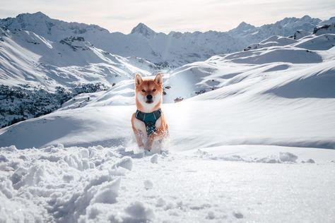 We absolutely love this shot from @shinainu_chinook We need to get ourselves to Switzerland! 😍   Chinook is wearing our Embark Pets Adventure Dog Harness    #embarkpets #instadog #instagramdogs #traildog #adventuredog #dogswhohike #hikingdogsofinstagram #hikingwithdogs #campingwithdogs #campingdog #hikingdog #dogsonadventures #traveldog #wilddog #ilovemydog #dogsonadventures #dogsofinstagram #wolfdog #runningdog #adventuredogs #snowdog