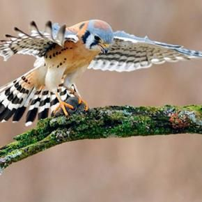 You can tell this American Kestel is female by the multiple stripes in its tail. Male kestrels have just one thick black stripe. Kestrel by Scott Linstead