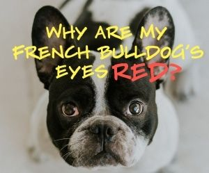 Why Are My French Bulldog S Eyes Red Fawn French Bulldog French
