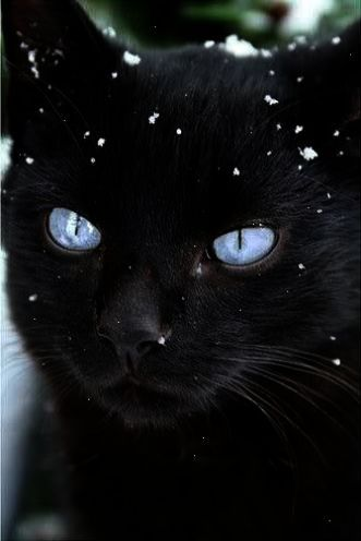 It S A Beautiful Cat In The Snow But Those Blue Eyes Please Check Out My Website Thanks Www Photopix Co Nz Photo Chat Chats Et Chatons Chats Adorables