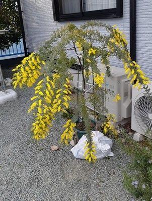 鉢植え ミモザ ミモザアカシアの冬管理・鉢植えでの育て方の注意点を教えてください:質問BOXより