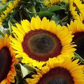 Sunflower Seeds Domino Helianthus Annuus Gallineros