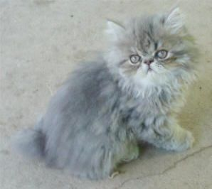 Can Cats And Kittens Eat The Same Food Cats And Kittens Meaning Persian Cat Kittens Cutest Fluffy Kittens