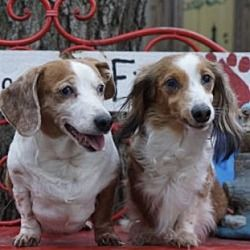 Pin By Carrie On Dachshunds For Adoption Dachshund Adoption Dachshund Rescue Dachshund