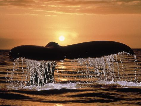 Humpback Whale | Humpback Whale Tail - Ocean Life Photography Desktop Wallpapers ( 9593 ...
