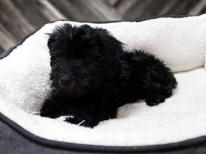 Mini Whoodle Dog Female Black 2391318 Dogs Dogs For Sale Whoodle Dog