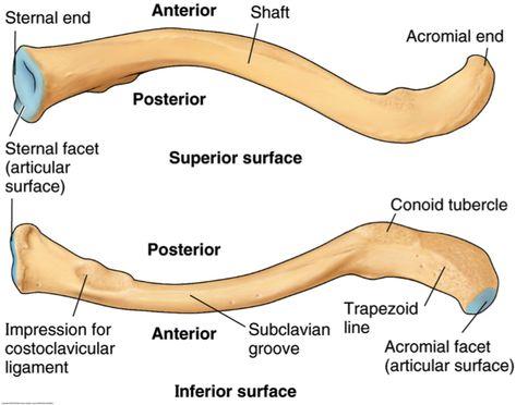 clavicle | anatomy 501 > sorrells > flashcards > shoulder | studyblue