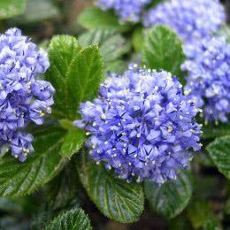 Pin By Barbra On Kwiaty In 2020 California Lilac Plants Fragrant Plant