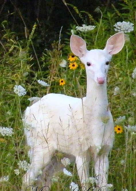 White Fawn in field of flowers by Mary Dreher Albino Deer, Rare Albino Animals, Unusual Animals, Pretty Animals, Animals Beautiful, Cute Animals, Animals And Pets, Baby Animals, Mon Zoo