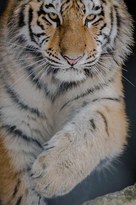 Sibirischer Tiger Animals Tiger