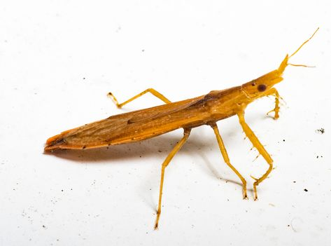 Pnirontis Modesta An Assassin Bug Virginia With Images Insects Beetle Bug Bugs
