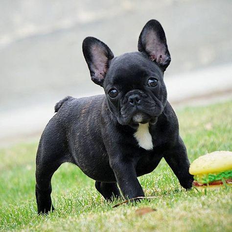 Black Cute French Bulldog Puppy Buldog Psy Buldog Francuski