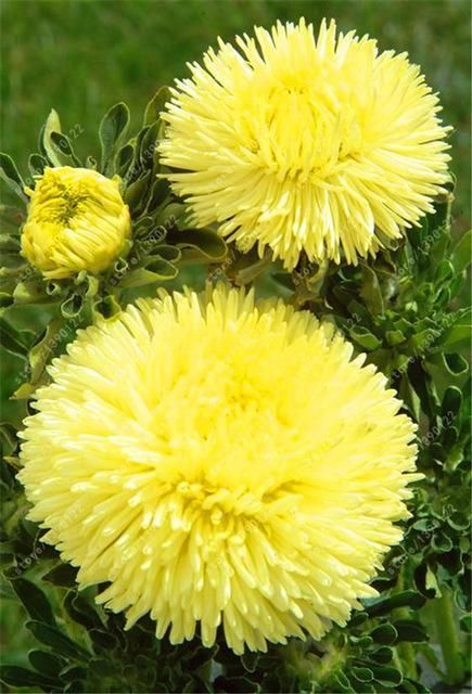 200 Pcs Bag Aster Seeds Aster Flower Bonsai Flower Seeds Rainbow Chrysanthemum Seeds Perennial Aster Flower