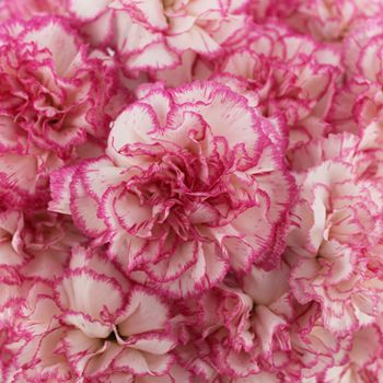 White And Pink Carnation Flower Fiftyflowers Com Carnation Flower Purple Carnations Pink Carnations