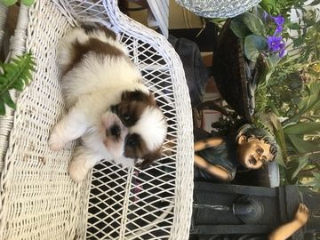Shih Tzu Puppy For Sale In Los Angeles Ca Adn 69953 On