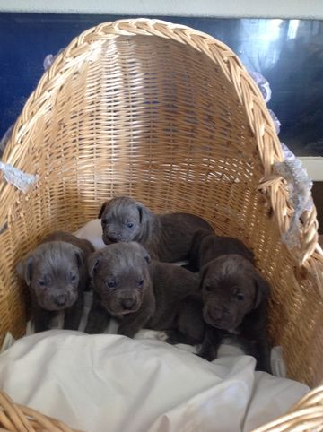 Litter Of 3 Cane Corso Puppies For Sale In Denver Co Adn 71457