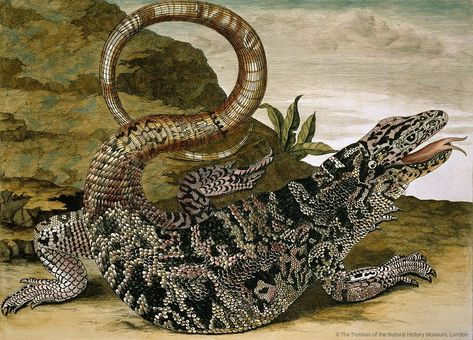 Happy #WorldLizardDay! This 'black tegu' was painted by pioneering scientific illustrator Maria Sybilla Merian. The species is also known…