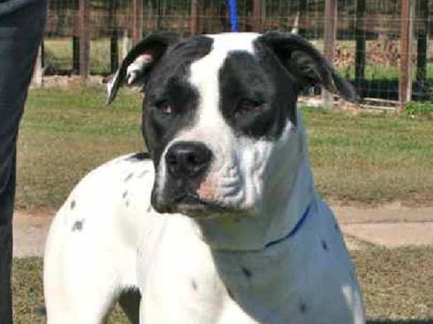 American Bulldog Catahoula Mix Black And White Adopted Female