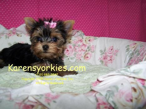 Karens Yorkies Yorkie Puppies For Sale Yorky Breeder Has Many