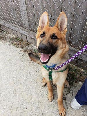 Hillside Il German Shepherd Dog Meet Scrappy A Dog For Adoption